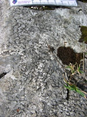 Branching phaceloid corals (Austria)