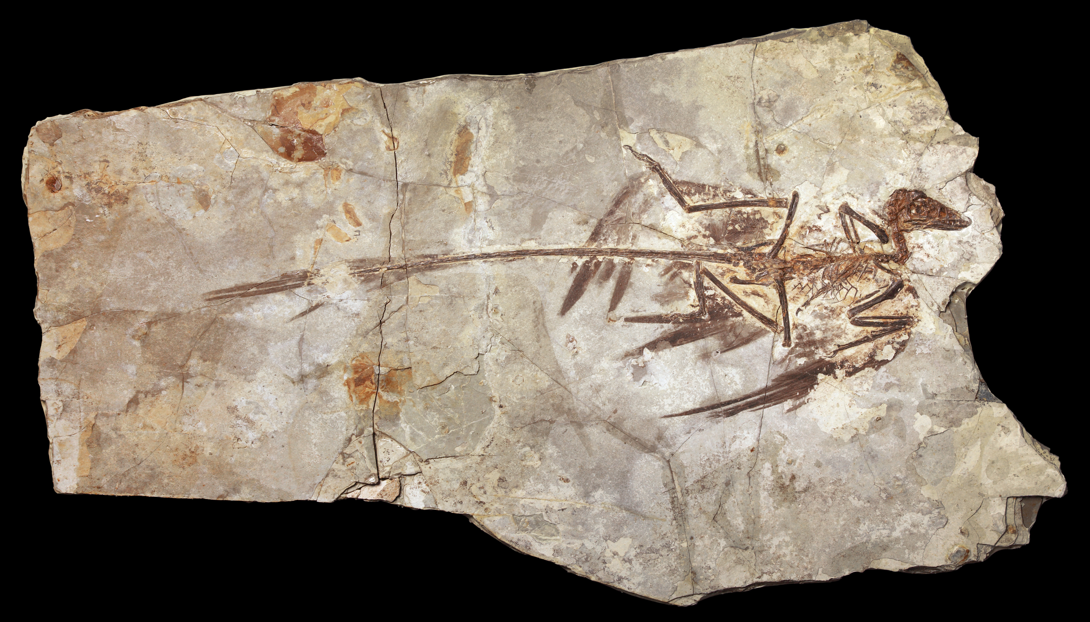 fossil evidence Fossil evidence for evolution - there are primarily two lines of fossil evidence cited as evidence for darwinian evolution: transitional fossils and the sequential.