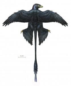 Microraptor Reconstruction #5