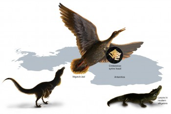 Study of the first fossil vocal organ from the Mesozoic provides insight into the evolution of bird calls and song. The fossil syrinx is from the late Cretaceous of Antarctica. Within dinosaurs there was a transition from a vocal organ present in the larynx (present in crocodiles) to one uniquely developed deep in the chest in birds. Nicole Fuller/Sayo Art for UT Austin.