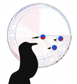 Colors show probability of each branch being an open-mouth vocalizer (blue) or a closed-mouth vocalizer (red). Pies show the probabilities that the ancestors of birds and crocodiles, palaeognath birds, and neognath birds used closed-mouth vocalization. Tobias Riede
