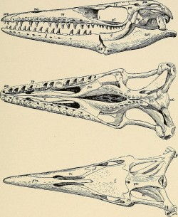 """Skulls of mosasaurs from """"Water Reptiles of the Past and Present."""" Upper figure, Clidastes, from the side; middlefigure, Platecarpus, from below; lower figure, Tylosaurus, from above."""