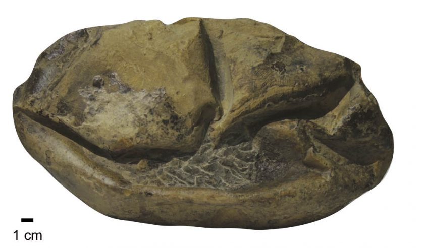 A photo of the fossil egg.