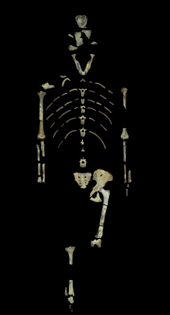 Lucy, a 3.18 million year old fossil specimen of Australopithecus afarensis. (Image provided by John Kappelman/The University of Texas at Austin)