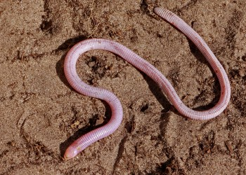 """The Florida worm lizard is the closest living relative of the """"Lone Star"""" lizard. They both belong to the taxonomic family Rhineuridae. Mary Keim"""