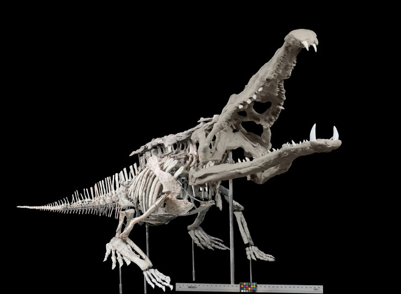 Phytosaur, Crocodile Like Reptile Smilosuchus Gregorii Usnm 18313