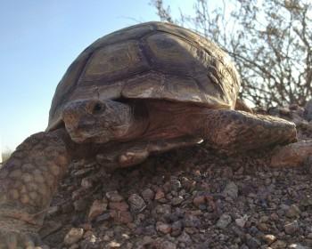An endangered desert tortoise.