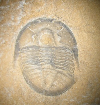 Trilobites first evolved during the Cambrian explosion. Over 20,000 species have been recorded.