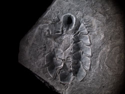Fossil specimen of multiplacophoran