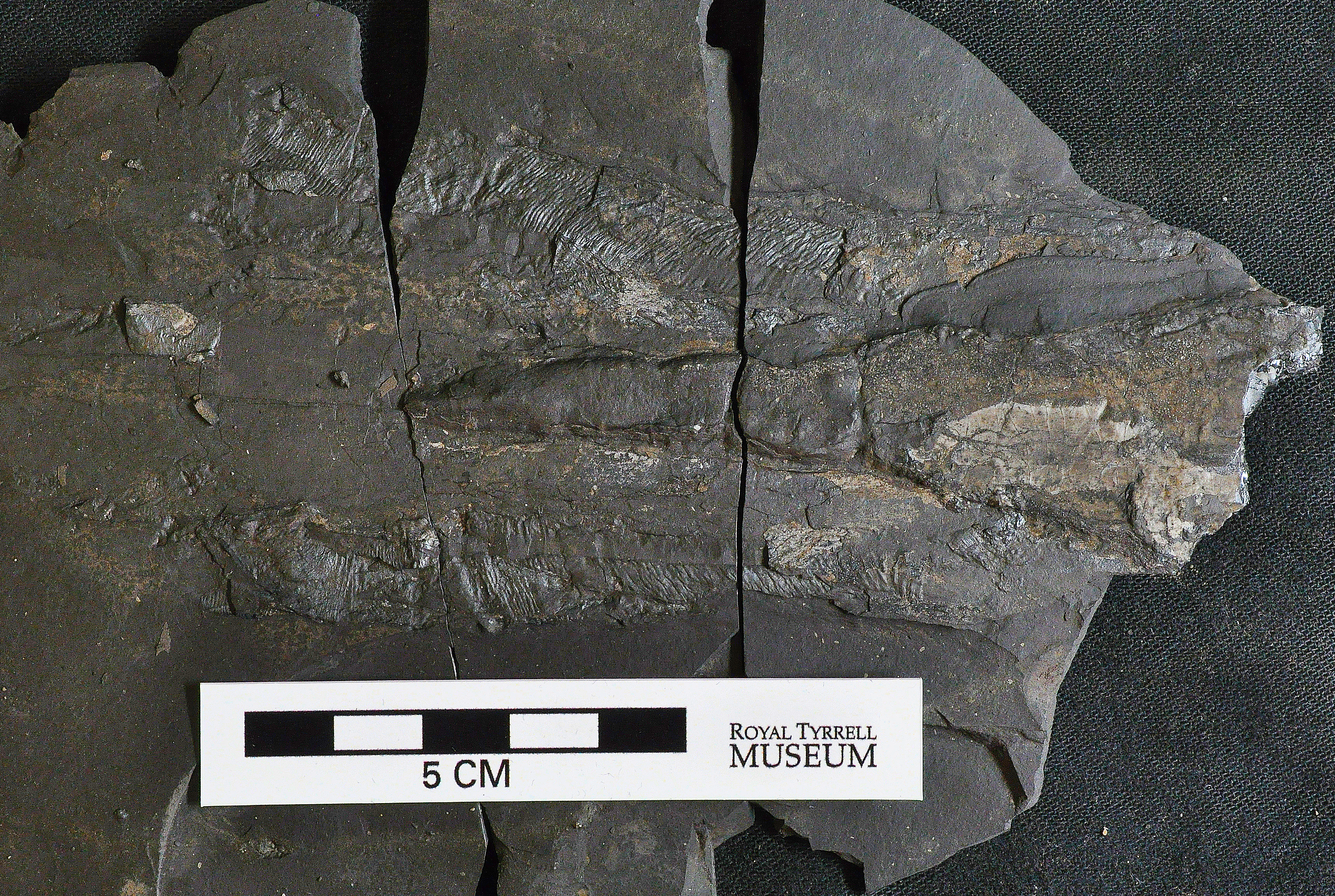Grooves in the dark fossil show the muscles of the vampyropod