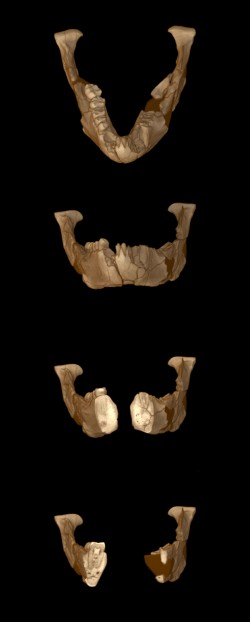 By combining 800 CT slices through Lucy's jaw bone and teeth, scientists can now fly through a 3-D reconstruction and see interior details such as tooth enamel thicknesses. Dark colored material represents the glues and plasters originally used to reconstruct the fossil. Images: Richard Ketcham and Jessie Maisano.