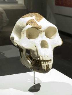 Lucy skull reconstruction on display at the Houston Museum of Natural Science.