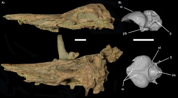 Ancient penguin skull and endocast. Scale bar is 2.5 cm and letters indicate parts of the brain: ce, cerebellum; el, endosseus labyrinth; fl, floccular lobe; ol, optic lobe; os, occipital sinus impression; pb, pituitary bulb; t, telencephalon; w, wulst.