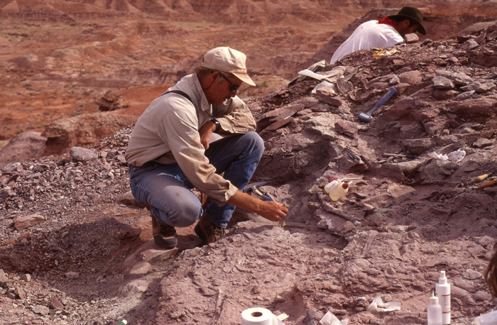Tim Rowe uncovers a limb bone of Sarahsaurus, a new species of sauropodomorph dinosaur, at a site in the Early Jurassic Kayenta Formation (about 180 million years old) in northern Arizona.