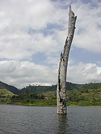 A researcher collects samples from a partially submerged tropical tree at Lake Bosumtwi, Ghana. A submerged forest in the lake provides evidence for severe and long lasting droughts in West Africa just a few centuries ago. Enlarge image.