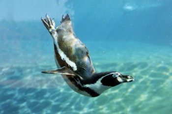 Switch From Flying To Diving Did Not Change Penguin Brain Structure