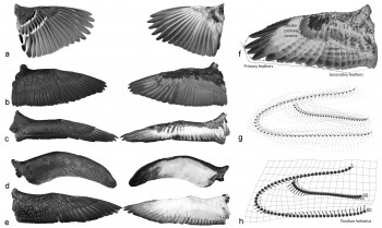 Samples of the dorsal (middle column) and ventral (left column) sides of wings from bird specimens analyzed by the researchers. The right column depicts a consensus wing shape generated by analyzing the wing shape of 105 bird taxon (top), a figure depicting how various wing shapes differed from the consensus wing (middle), and the magnitude of variation across different parts of the consensus wing (bottom).