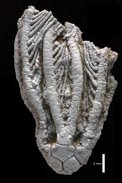 Eopinnacrinus pinnulatus (1121TX66 - Holotype)