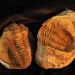25.  Impression and cast of a trilobite.