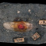Slab with bivalve fossil