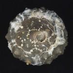 64. Leptosalenia stenzeli