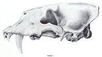 Skull of Scimitar-toothed cat (Homotherium serum)