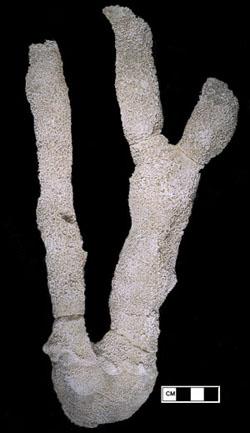 Fossil sponge, Pennsylvanian period, Texas.