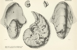 Stenzel Cephalopod