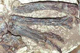 The hind limb of the dinosaur Dilophosaurus wetherilli