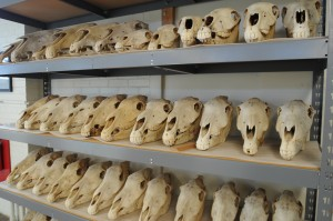 Skulls from VPL's Recent Vertebrate Collection.