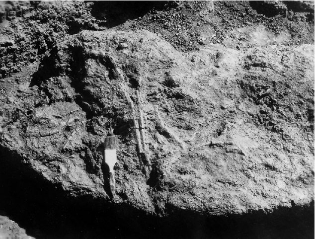 Original WPA photo of the phytosaur fossil in situ (1940).