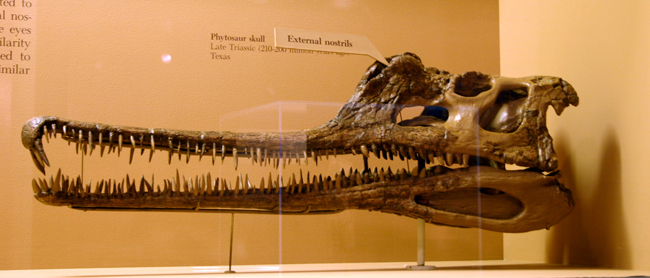 Phytosaur skull on display in the Smithsonian National Museum of Natural History. Credit: Ryan Somma